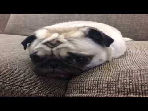 Funny Pugs Vines Compilation  try not to laugh!