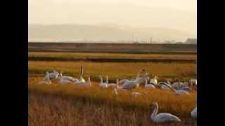 河北潟に飛来したコハクチョウの群れ。飛び立つ様子や餌を食べる様子な...