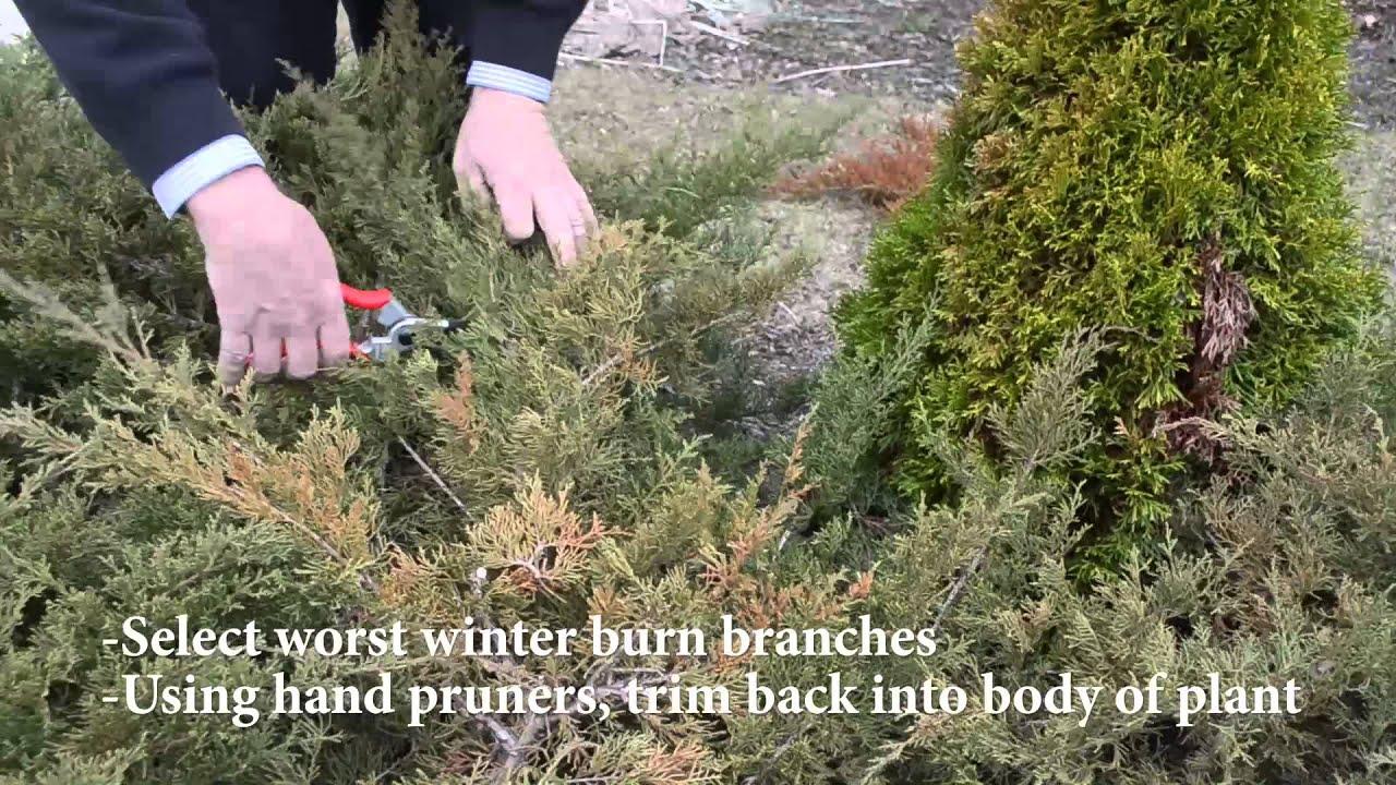 Pruning Winter Burn On Evergreens Youtube