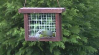 Silver-eyes On Suet Bird Feeder