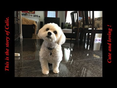 The story of a Havanese dog, cute and lovely, 229 photos compilation