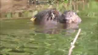 Beaver kit takes its first swim on the River Otter, Devon. Film by Tom Buckley
