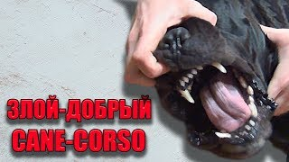 Собака Кане Корсо возмущена. #canecorso