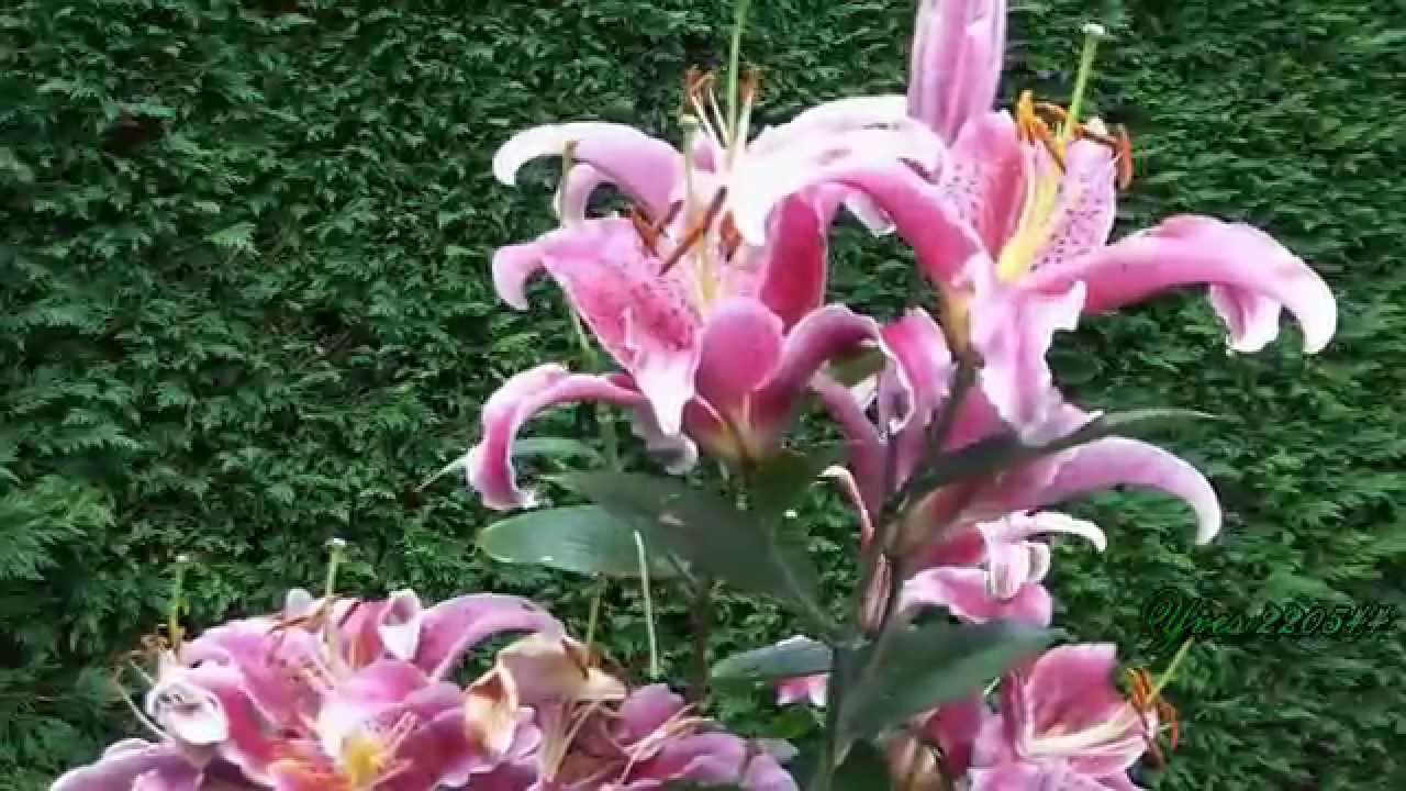 Lys du Jardin.mpeg - YouTube
