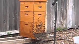 Beekeeping: New Honey Bee Queen Mating Flight Video