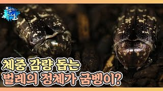체중 감량 돕는 벌레의 정체가 굼벵이? MBN 2107…
