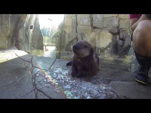 Rescued sea otter growing up fast at the Vancouver Aquarium
