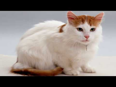 Interesting Turkish Van Facts