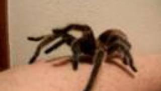 My giant tarantula spider crawling up my arm...