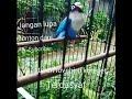 Masteran Lovebird Minor Mangap Durasi Panjang Tanpa Jeda  Mp3 - Mp4 Download