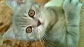 Шотландский котенок осваивает новый домик