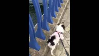 なぜか苦手な橋を頑張って渡った狆(0.5歳)です。なぜ橋が苦手だったの...