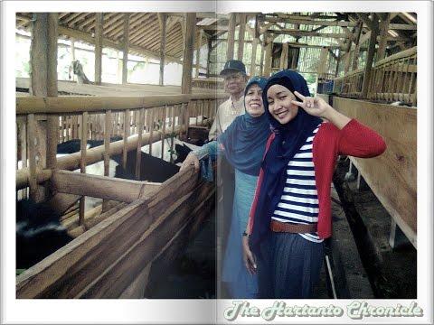 Ternak kambing tanpa ngarit 087 839 518 166 makan gedebog pisang Mitra NASA Indonesia
