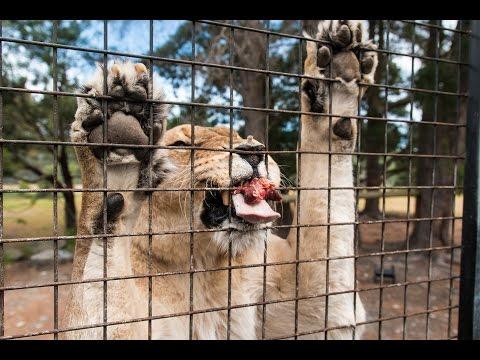 Orana Wildlife Park Lion Experience