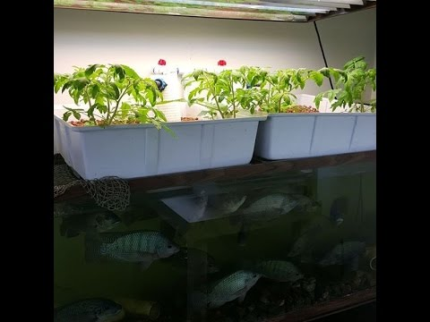 Hydroponics growing system with fish youtube for Hydroponic garden with fish