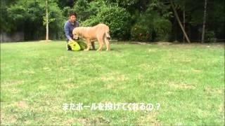 大型犬スパニッシュマスチフのお問合せはこちらから http://www.masaki-...