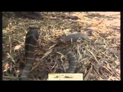 King Cobra  attack  mongoose