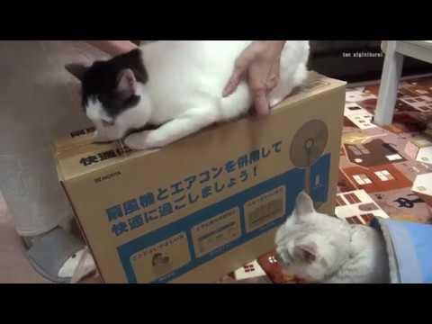 扇風機の準備を邪魔する猫達