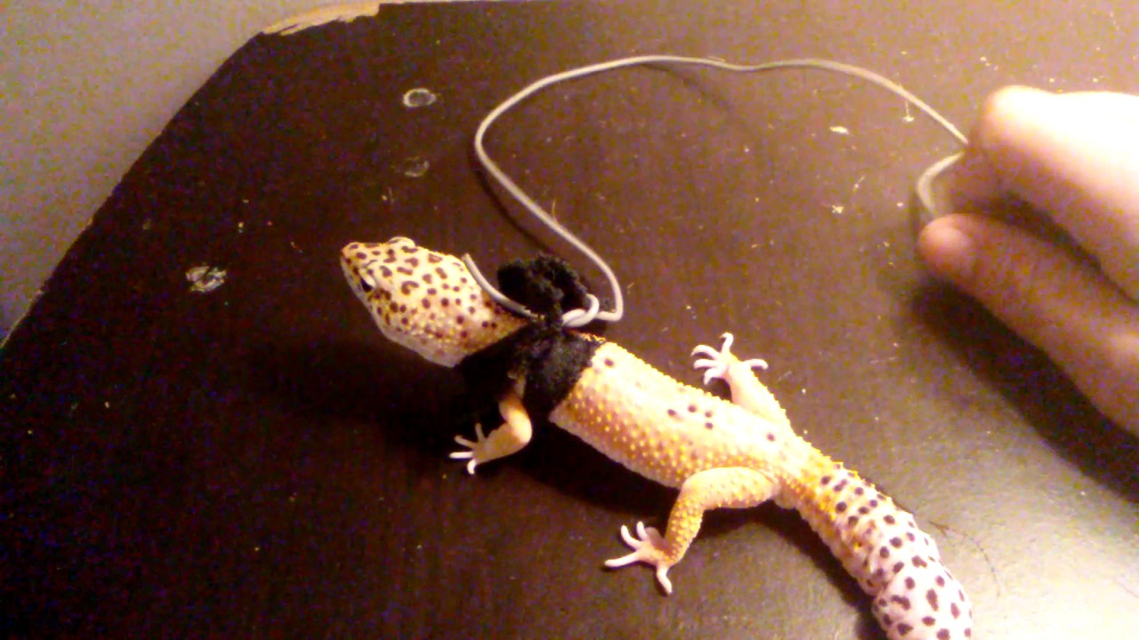 Make a Reptile leash - YouTube
