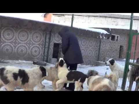 Как определить щенка немецкой овчарки  щенки метиса сао