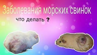 Svinki Family Blog: Заболевания морских свинок||власоеды/укусы/понос/метеоризм