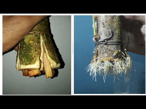 how-to-grow-bonsai-root-from-big-cutting-(-bonsai-anting-putri-/-jeliti-/wrightia-religiosa)
