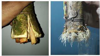 How to make bonsai root from big cutting ( bonsai anting putri / jeliti /wrightia religiosa)