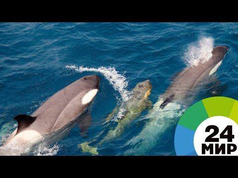 Косаток и белух из «китовой тюрьмы» в Приморье выпустят летом - МИР 24
