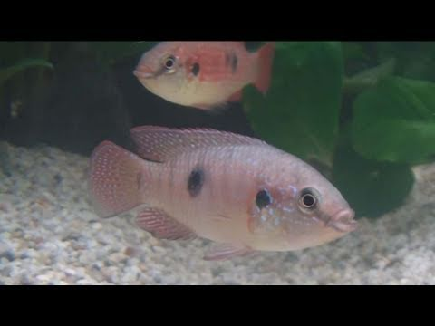 [HD] Bleher's Biotope: Lower Congo Region @ Zierfische & Aquarium 2010 [28/53]