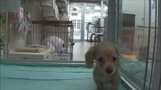 DOG Stage ドッグステージ http://www.dog-stage.com/dhm_puppy.html カ...