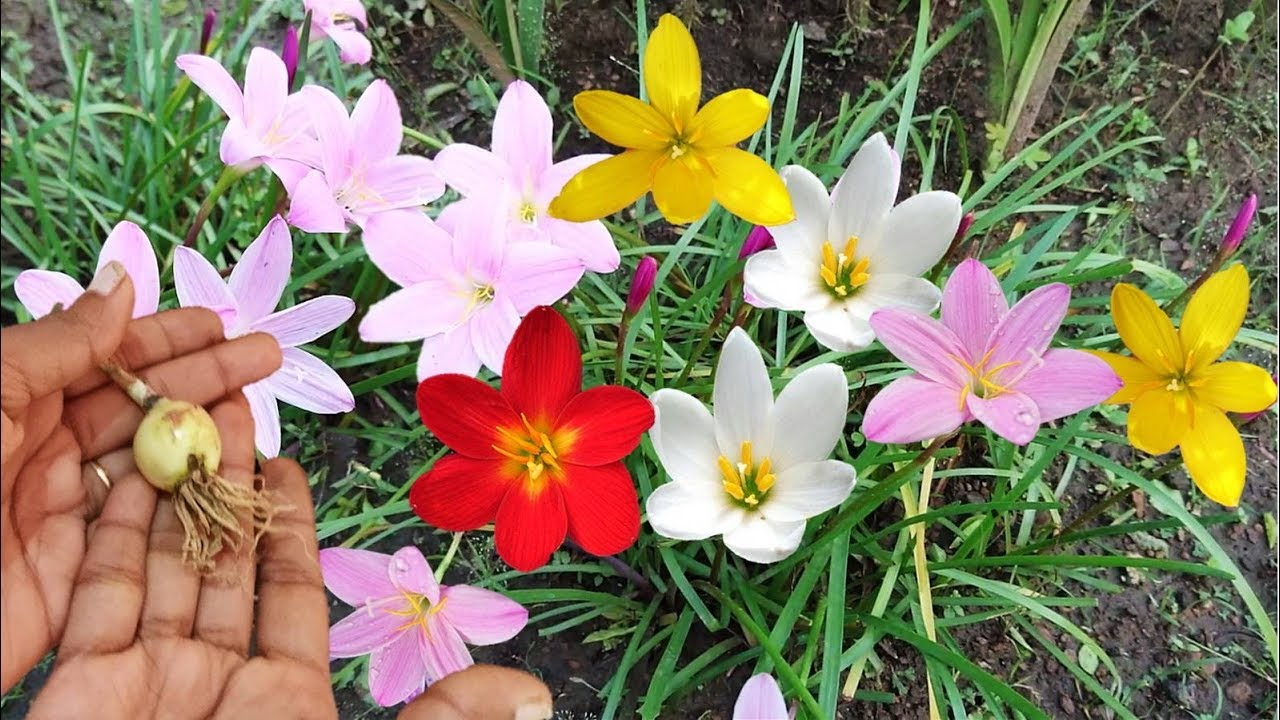 Best Monsoon Flower Rain Lily