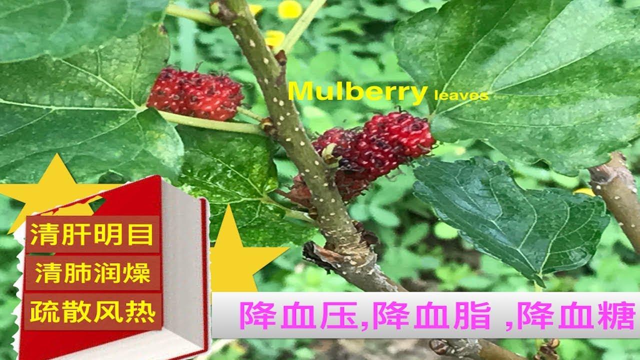 桑叶的作用与功效_桑叶的作用与功效.Mulberry leaves health benefits. - YouTube