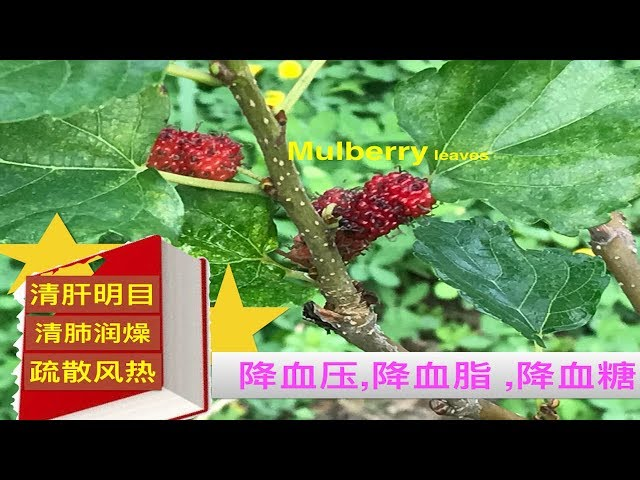 ????????.Mulberry leaves  health benefits.