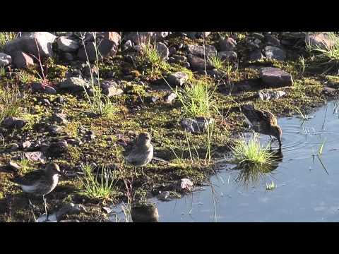 Batsfjordfjell, Varangerhalbinsel, Vogelleben der Seen & Bäche (lange Version)