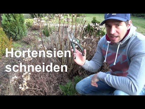 hortensien-schneiden-bauernhortensien-und-rispenhortensien-richtig-zurückschneiden