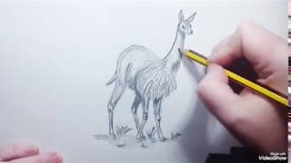 How to draw a Vicuña (speed) - Como dibujar una Vicuña (rápido)
