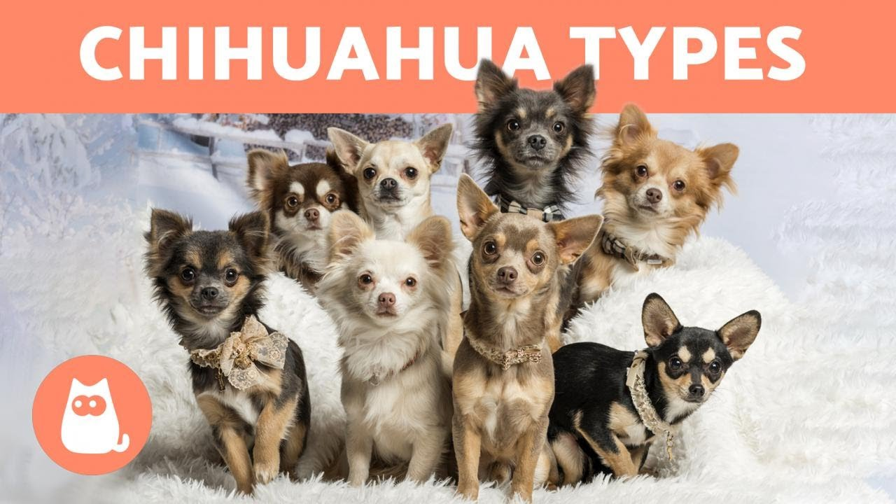 Types Of Н—–𝗛𝗜𝗛𝗨𝗔𝗛𝗨𝗔 Breed Names And Characteristics Youtube