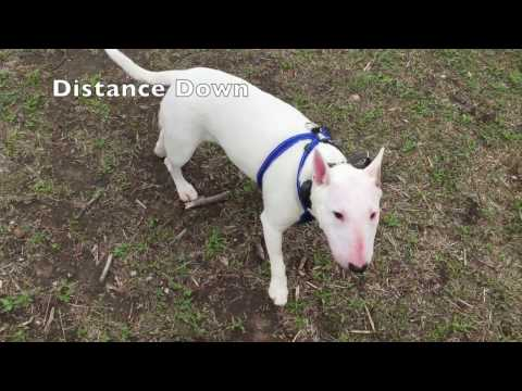 """Bull Terrier """"Swagger"""" Amazing Transformation l Dog Trainers San Francisco l East Bay"""