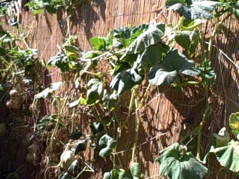 Growing Winter Squash Vertically On A Nylon String Trellis