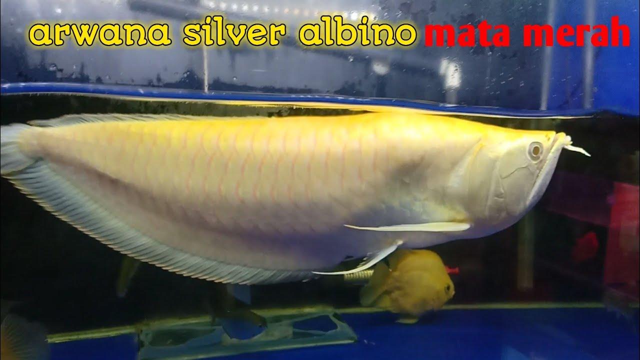 Ikan Arwana Albino Terbesar Youtube