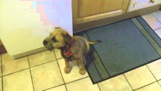 Max The Border Terrier Sings Silent Night