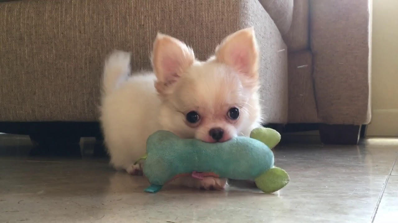 Long Haired White Chihuahua Puppies So Cute Sweetie Pie