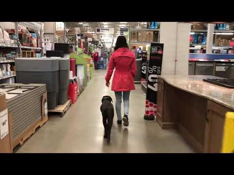 5-Month Old Lab, Bailey!  Black Labrador Dog Training | Off Leash K9 Training