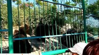 Anapabest.ru: медведи в Сафари-парке / Анапа(Медведи в сафари-парке Геленджика. Эту экскурсию можно посетить во время поездки в Анапу., 2011-12-05T19:57:48.000Z)