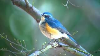 ルリビタキ(1)綺麗な個体 - Red flanked bluetail - Wild Bird - 野鳥 動画図鑑