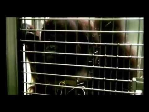 PLoS ONE : Speech-Like Rhythm in a Voiced and Voiceless Orangutan Call