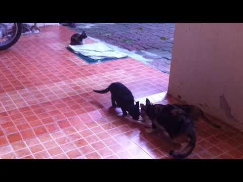 Feeding cats morning time Lamai Koh Samui Thailand