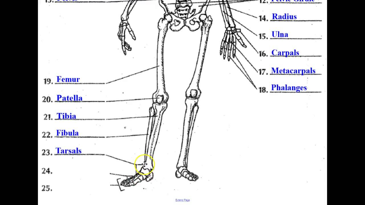 The Skeletal System Youtube