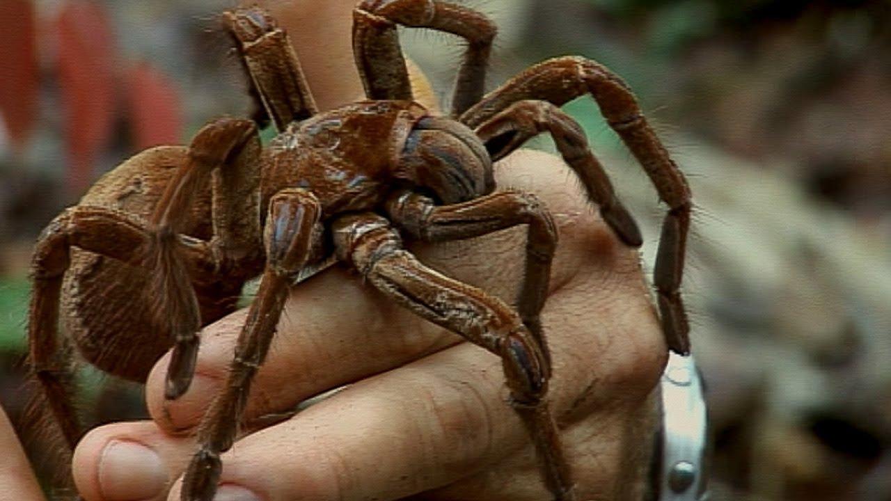Holding A Wild Goliath Tarantula Deadly 60 Earth Unplugged