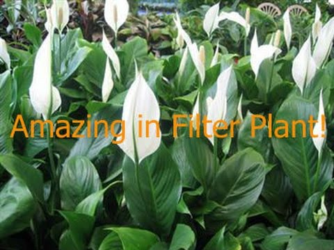 Fish Filtered By Plant? Amazing In Filter Plant! Peace Lily.
